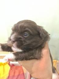 Shihtzu chocolate