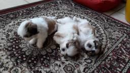 Três machos, filhote de shih tzu em Goiânia