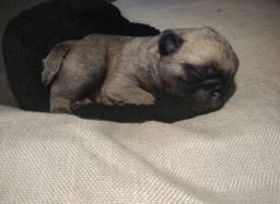 Último filhote de Pug macho