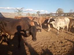Título do anúncio: 8 vacas boas leiteira