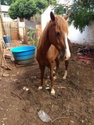 Cavalo paulista Machador