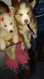 Filhote  Husky Siberiano Pelagem Wolly olhos azuis