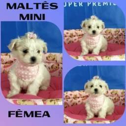 Hoje Maltês Mini Fêmea # Microchipada # Parcelado 12X