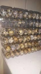 Vendo Ovos de codorna galados