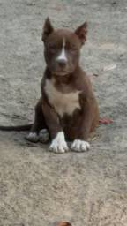 American bully com stanfor