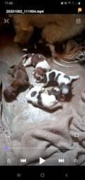 Pra reserva filhotes de schituz