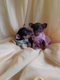 Chihuahua Ligue Terei Prazer Em Atende-lo