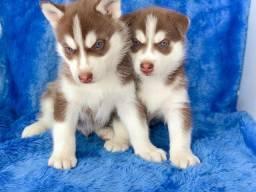 Husky Siberiano com pedigree e microchip em até 12x