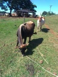 Vendo vaca e novilhas