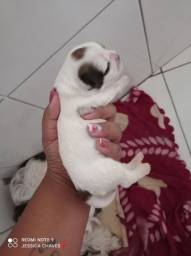 filhote de cachorro da raça lhasa apso