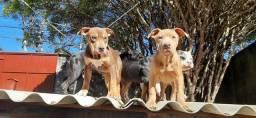 Filhotes com pedigree - PREÇO ESPECIAL
