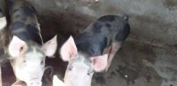 Porca para abate ou matriz
