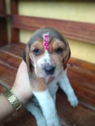 Belissimos filhote de Beagle vermifugados e com garantia de saúde.