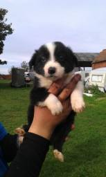 Border Collie blue merle/red merle/preto e branco/chocolate