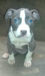 Vendo filhotes de pitbull Zap 73-98203-6818