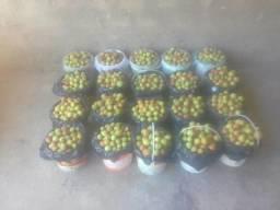Vendo mangaba