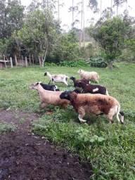 Ovelhas barbada