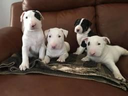 Bull Terrier Inglês somos a unica rede com clinicas veterinarias, chamar what's
