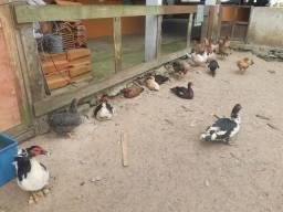 Pato Galinha e Ovelha