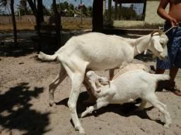 Cabra sani com um casal de cabrito.