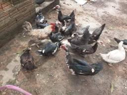 Patos para cria