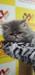 Gato Persa Laranja Macho