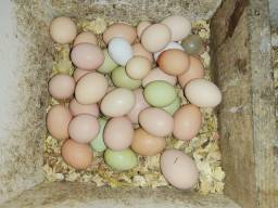 Ovos de galinha caipira