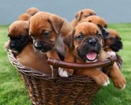 Filhotinhos de Boxer, entregamos com garantias inclusas!