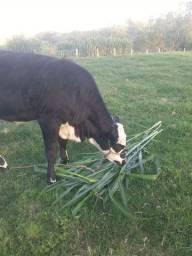 Capiaçu(melhor capim para seu gado)