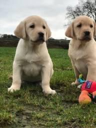 Labrador Lindos Filhotes Raça Pura