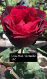 Rosa Mídi ( Várias cores )