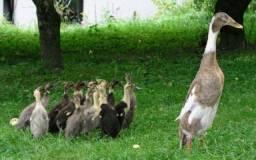 Pato corredor indiano
