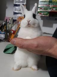 Vende-se coelho filhote mini Midland