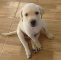 Labrador chocolate\ amarelo\ preto, machos e fêmeas com garantias e suportes exclusivos<br><br><br>