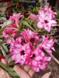 Vendo enxerto de rosa-do-deserto apenas no valor de r$ 65