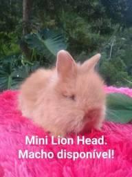 BBS MINI Lion Head.