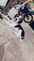 Vendo filhote Beagle