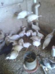 Guines e frangos ig
