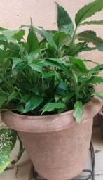 Plantas adultas em vasos médios