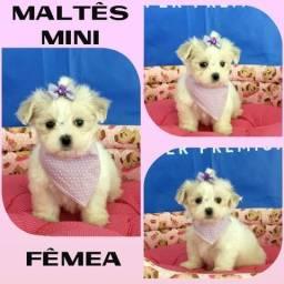Aqui no Puppy Stop - Maltês Mini Fêmea - Parcelado em até 12X