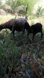 Ovelha e carneiro os dois R$500