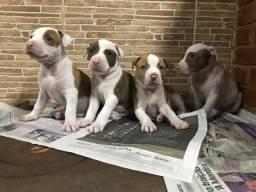 Pitbull Red Nose / American Pit bull Terrier