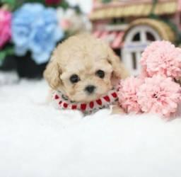 Poodle Teacup Microtoy, lindos filhotinhos, bolinhas de pelo muito fofos, confira: