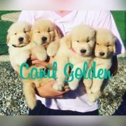^* Golden Retrivier Filhote com Pedigree ++ Garantia de Saúde