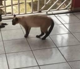 Gato ciamês, com cicatriz na cabeça e coleira azul