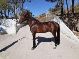 Cavalo argentino inteiro trotador manso