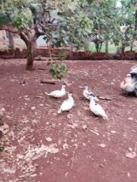 Peru e Patos