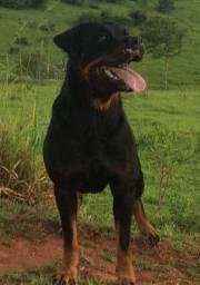 Rottweiler com pedigree
