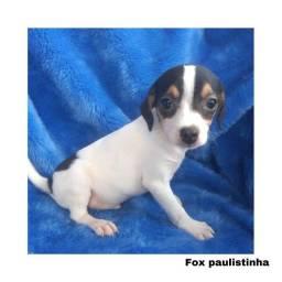 Fox Paulistinha com pedigree e microchip em até 12x