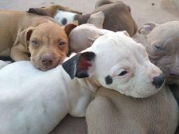 Filhotes Pitbull American Bully com Pit Bull Terrier (APBT)